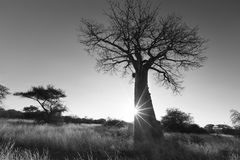 Large baobab tree without leaves at sunrise with clear sky artis Royalty Free Stock Photo