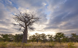 Large baobab tree without leaves at sunrise with cloudy sky Royalty Free Stock Photos