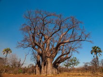 Large baobab tree Stock Photos