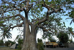 Large baobab tree in the village square, Mozambique Royalty Free Stock Image