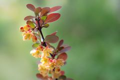 Large barberry flowers on a sunny spring day in the garden against a light green background. Close-up. Selective focus royalty free stock image