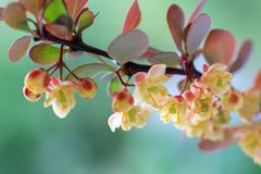 Large barberry flowers on a sunny spring day in the garden. Close-up. Selective focus royalty free stock images