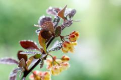 Large barberry flowers with water drops after a rain on a sunny spring day in the garden. Close-up. Selective focus royalty free stock image