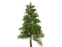 Large bare christmas tree on white background Stock Photos