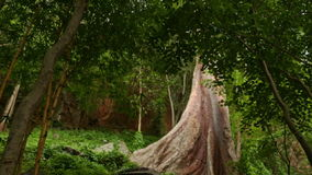Large Bare Trunk of Tropical Tree among Wild Forest. Large bare conical brown trunk of tropical tree ceiba on glade among wild forest through branches stock video footage