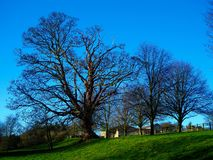 Large bare winter trees on a hilltop in Yorkshire, England stock photo