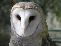 Large Barn Owl Stock Image