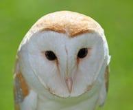 Large Barn Owl with big black eyes Royalty Free Stock Photography