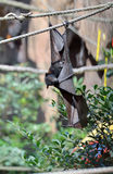 Large bat hanging from rope Royalty Free Stock Images