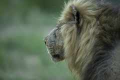 Large battle scarred male lion. A large battle scarred male lion staring intently in the distance with a clean background royalty free stock photography