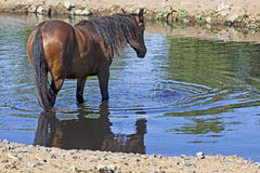 Large Bay Wild Horse At Watering Hole Royalty Free Stock Photos