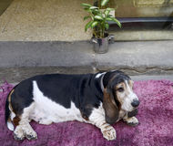 Large beagle on a pink mat in front of the house Stock Photos