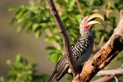 Large Beak Bird. Bird with large beak sitting on a branch at Kruger Park in South Africa Stock Images