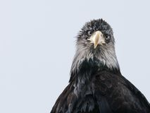 A large beak and sharp eyes Royalty Free Stock Photography