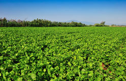 Large Bean Plantation Royalty Free Stock Photography