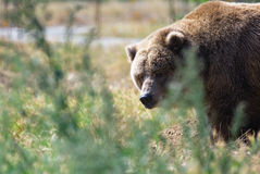 Large Bear Stock Photography