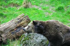 Bear sleeping on rock outdoors. stock images