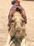 A large beautiful beige is a strong majestic camel, an exotic trained animal with a fabric light bridle on its muzzle sits on the stock images