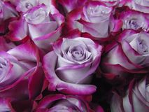 A bouquet of two-tone rose and purple crimson, large Stock Photo