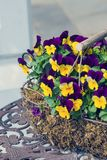 A large beautiful bush of violets viola tricolor in a decorative basket on a metal table with a beautiful pattern. Floriculture stock photo