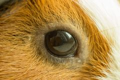 A beautiful eye of a redheaded brown rodent gazes out the window royalty free stock images