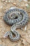 Large beautiful female berus viper Stock Photography