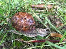 Large grape snail on the grass stock photo