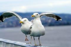 Large beautiful gull breeding Larus fuscus on the Atlantic Stock Photos