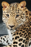 Large beautiful leopard Royalty Free Stock Photo