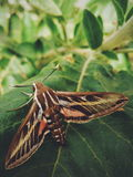 Large and beautiful moth Royalty Free Stock Photo
