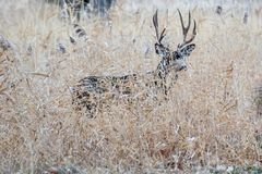Large and beautiful muledeer buck hiding in the grass in autumn royalty free stock photos