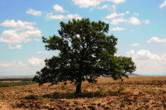 A large beautiful oak tree on a field Stock Images