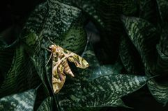 Oleander hawk-moth - Army green moth on snake plant leaves. Large beautiful Oleander hawk-moth - Army green moth on snake plant dark green leaves royalty free stock photo