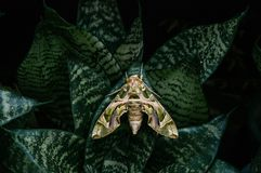 Oleander hawk-moth - Army green moth on snake plant leaves. Large beautiful Oleander hawk-moth - Army green moth on snake plant dark green leaves stock image