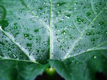 A shaggy green pumpkin leaf with a clear water droplet looks very beautiful. royalty free stock photography
