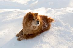 Large beautiful red chow chow looking back while lying down stock photo