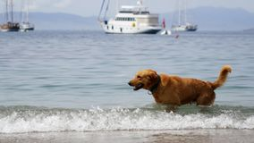 A large beautiful red-haired dog shakes off in sea water and walks away. Big yacht and mountains on background. 4k stock video footage