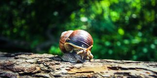 A large beautiful snail makes a leisurely walk along the bark of the old tree. Spring flowers blossom. Blurred background stock photography