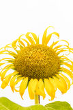 A large beautiful sunflower on white background Royalty Free Stock Image