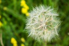 Beautiful, furry, large, white dandelion, close-up on a green background. Large, beautiful, white, fluffy dandelion, close-up grows on a summer meadow Royalty Free Stock Photos