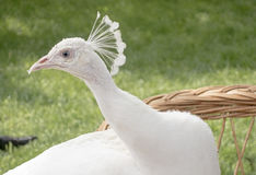 Large beautiful white peacock Stock Photo