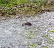 A large beaver battling a strong current. Wildlife swimming as seen in northern canada in the summertime royalty free stock photography