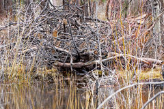 Large Beaver Dam on River. A large dam made by beavers on a river with reflections stock image