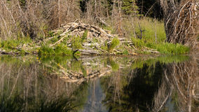 Large Beaver Hut House Dam Wyoming Lake River. Beaver have cut trees and piled them up to make a home in a Snake River tarn Stock Photography