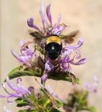 Large bee and bush Stock Image