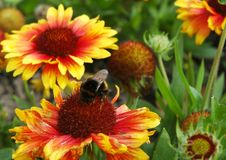 Red and yellow flowers, with a large bee at the centre. A large bee on the centre of flower with dozens of red and yellow petals. Other flowers are on the bush Stock Images