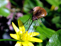 Large bee fly (Bombylius major). He large bee fly, Bombylius major, is a bee mimic. The eggs are flicked by the adult female toward the entrance of the stock images
