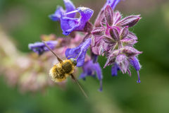 The Large Bee-Fly (Bombylius Major) Stock Photography
