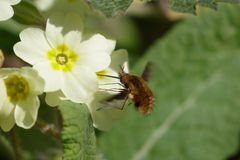 Large Bee-fly (Bombylius major) on Primrose Stock Image