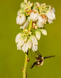 A Large Bee Fly feeding on Blueberry blooms. Stock Photo